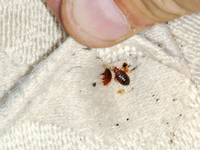 bed bugs infestation Pest Control