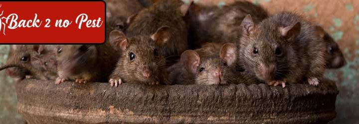 How to Track and Stop Rodent Infestation in your House