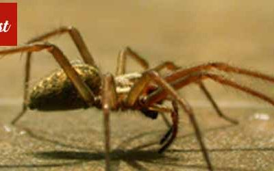 Australia is home to some Deadly Spiders, Get Rid of the same with us